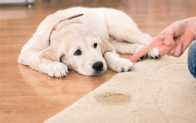 pet stain Removing Dallas